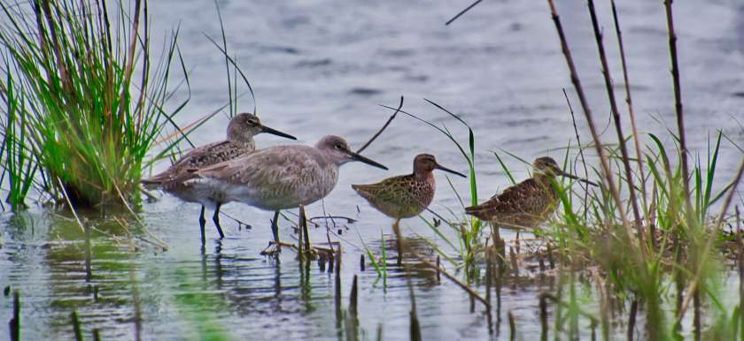 Wading Dowitcher and Sandpiper