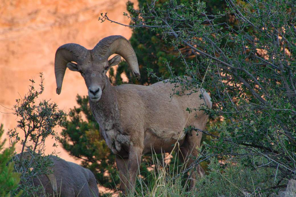 Curious Craig - Big Horn Sheep Colorado