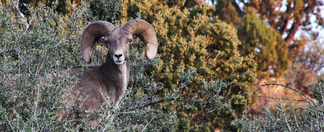 Curious Craig - Bighorn Sheep Pose