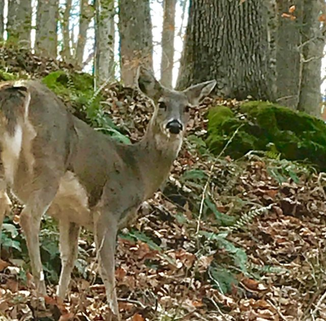 Kentucky - Deer.jpg