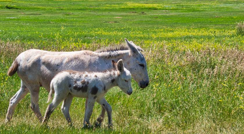 Curious Craig - Momma-and-Baby-Burro-1.jpeg