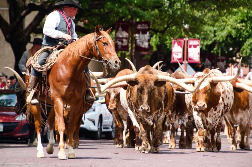 Curious Craig -Fort Worth Cattle Drive