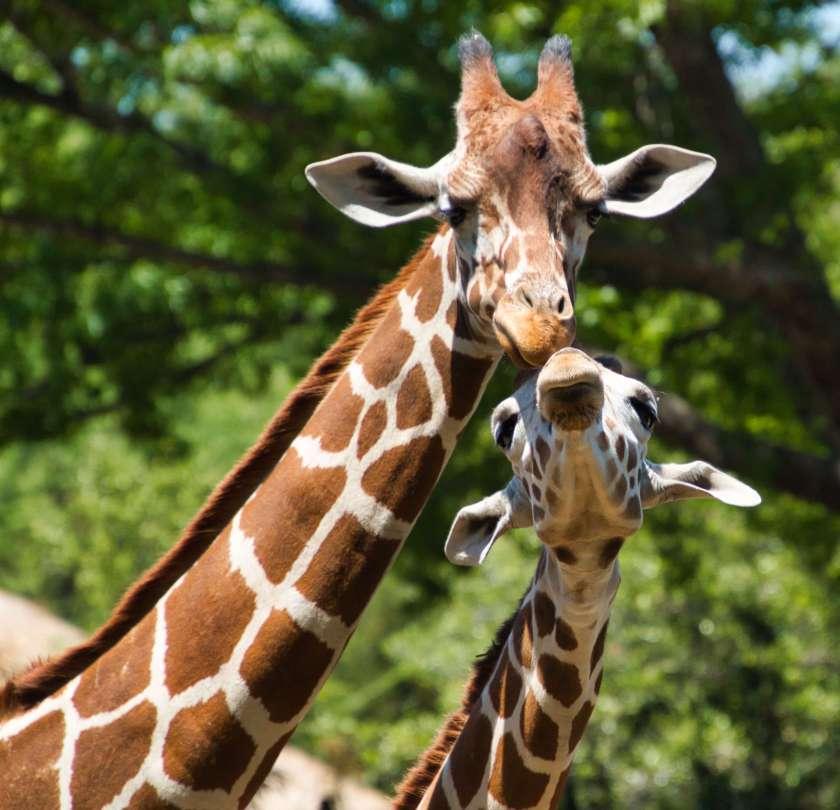 Curious Craig - Giraffes