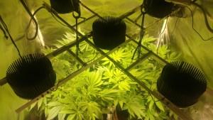 Indoor cannabis grow image