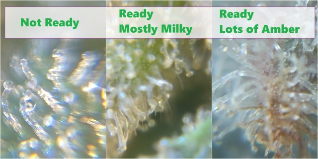 Look for milky trichomes and a little amber