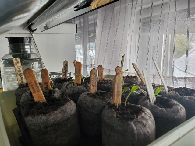 Peppers in self watering germination tray. Some are sprouting