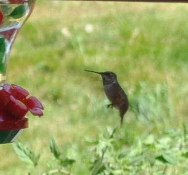 Hummingbird at back feeder.