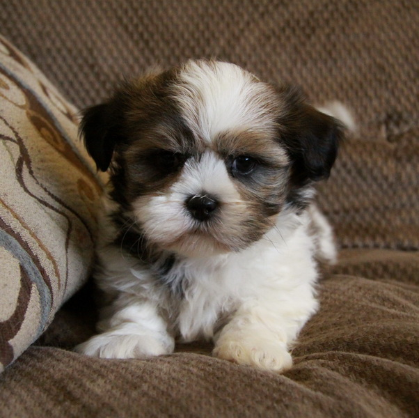 Guinness Girl Wallpaper Shihpoo Puppies For Sale Dogs For Sale Puppies For