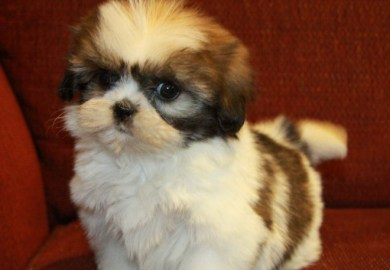 Shih Tzu Puppies For Sale Dogs For Sale And Dog Breeders