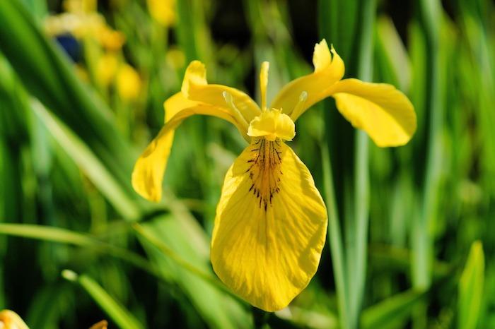 yellow iris fleur de lys