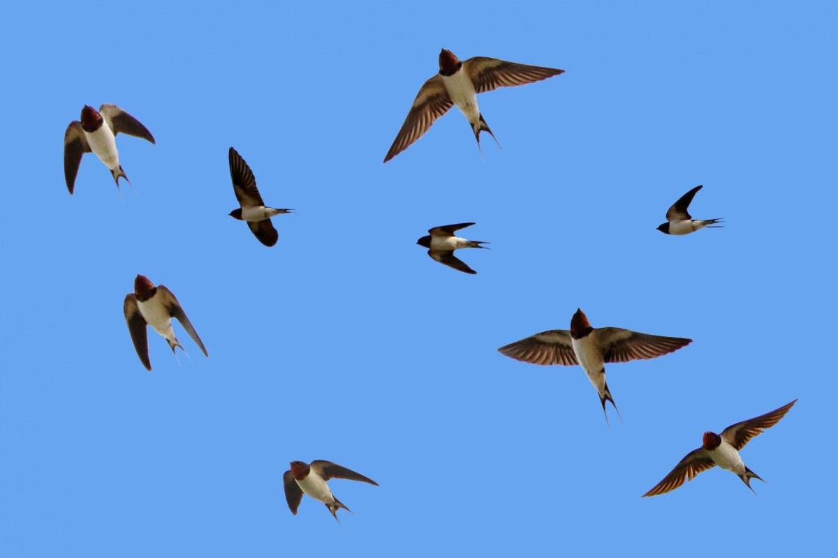 ツバメが産卵を日本でするのは何故?渡りは集団で飛んで来るの?