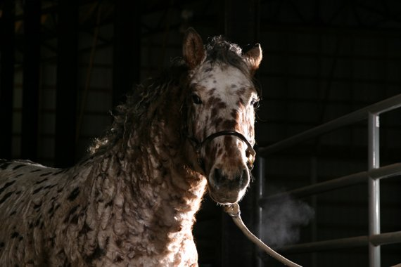 Professional Photos of a rare Bashkir Curly Stallion with Leopard Appaloosa Coloring AABA-5