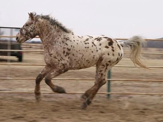 Professional Photos of a rare Bashkir Curly Stallion with Leopard Appaloosa Coloring AI-35