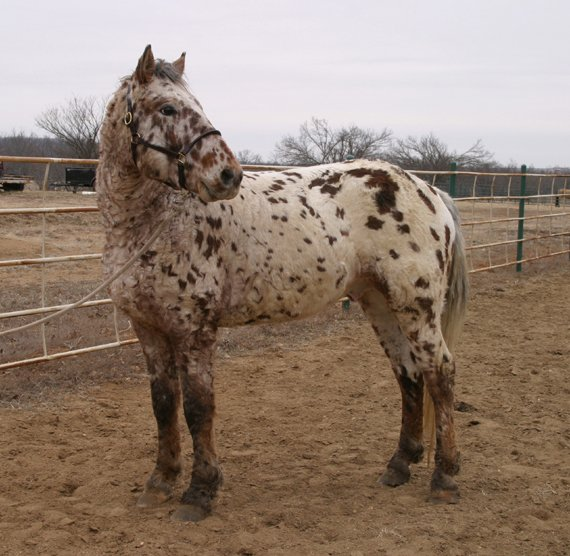 Professional Photos of a rare Bashkir Curly Stallion with Leopard Appaloosa Coloring DB-