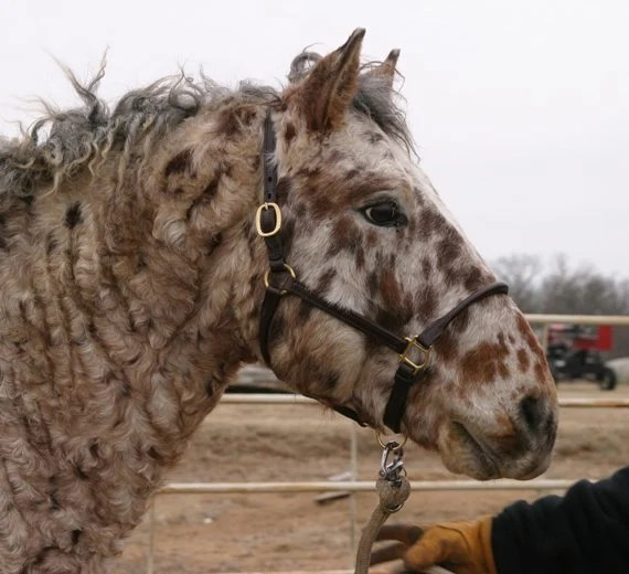 Professional Photos of a rare Bashkir Curly Stallion with Leopard Appaloosa Coloring N-1