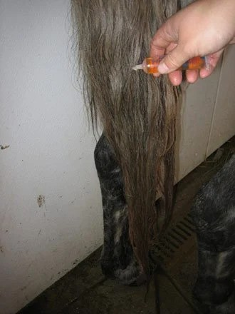 Using hot oil to grow a longer horse tail