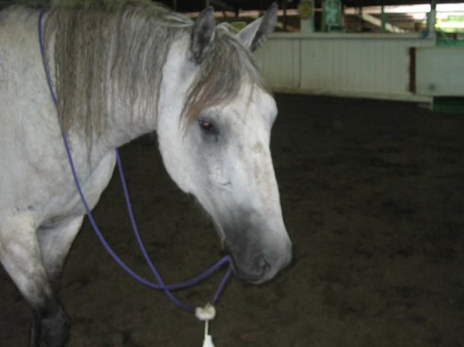 Video still of a grey gelding wearing a Native American style war bridle.