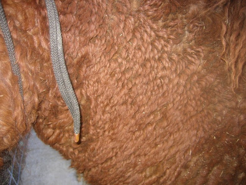 illustrates a close up of a moderately curly horse's coat
