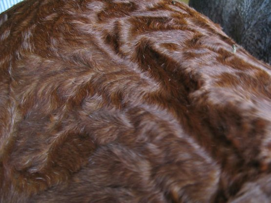 In summer, curly horse's coats may appear waved or like crushed velvet