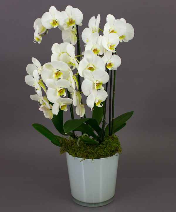White Phalaenopsis Orchid - Day Delivery Danvers Ma