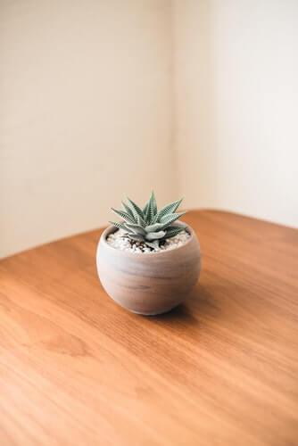 Aloe vera - Tanaman hias bunga dalam pot