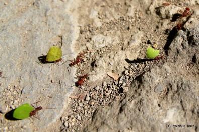 Hormigas Cortadoras de Hojas en Convento Santo Domingo Antigua Guatemala
