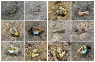 Fukido River, 吹通川, マングローブ, mangrove, crab, Krabbe, mudskipper, Schlammspringer, Ishigaki, 石垣島, Okinawa, 沖縄県, Japan