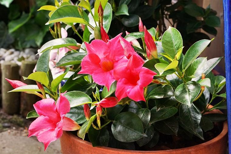 sundaville mandevilla plant onderhoud 3 - Love it! | Zomer in je tuin met de kleurrijke Sundaville