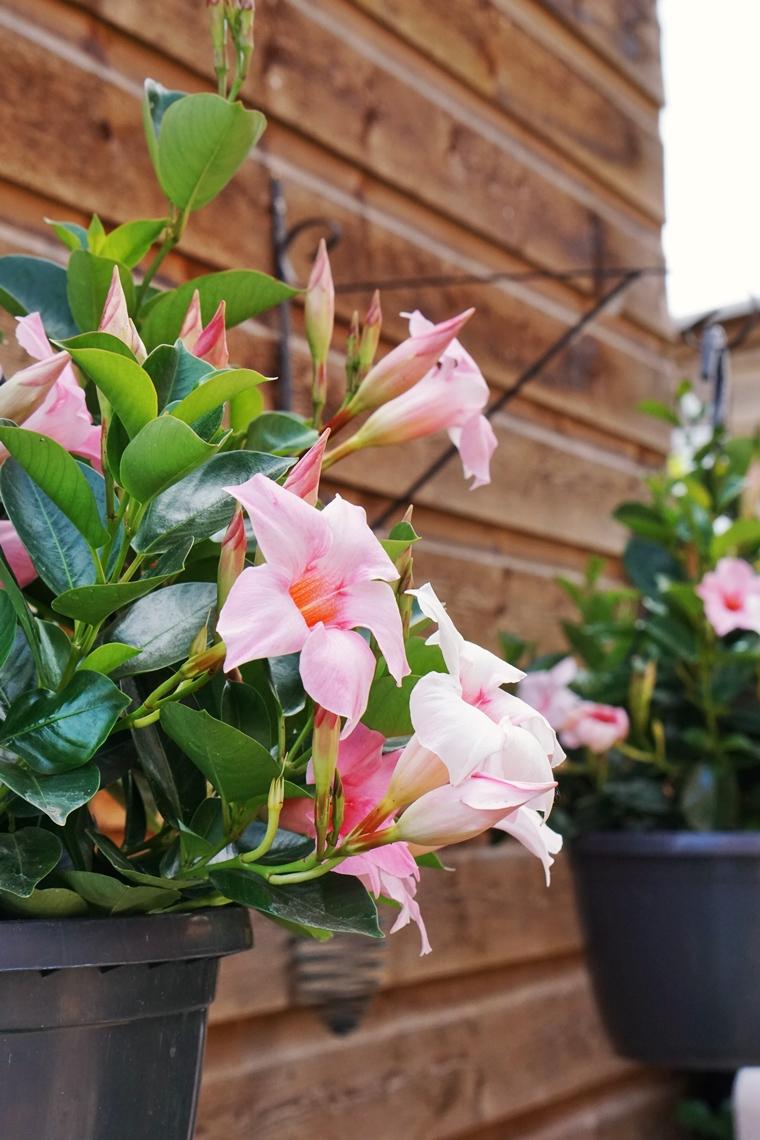 sundaville mandevilla plant onderhoud 5 - Love it! | Zomer in je tuin met de kleurrijke Sundaville