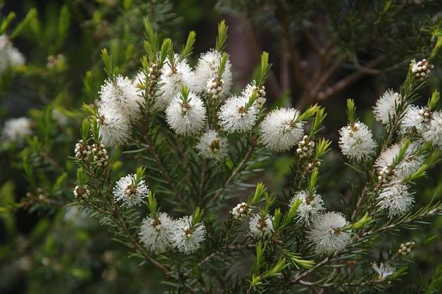 tea tree oil 2 - Beauty ingrediënt | Tea tree oil (theeboomolie)