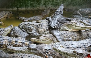 Pattaya Crocodile Farm