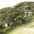 cedars, lebanon, tree, jounieh