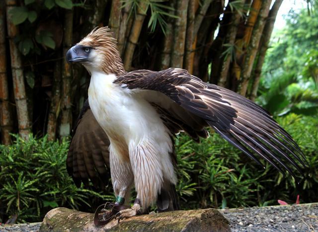 philippine eagle, center, davao, philippines