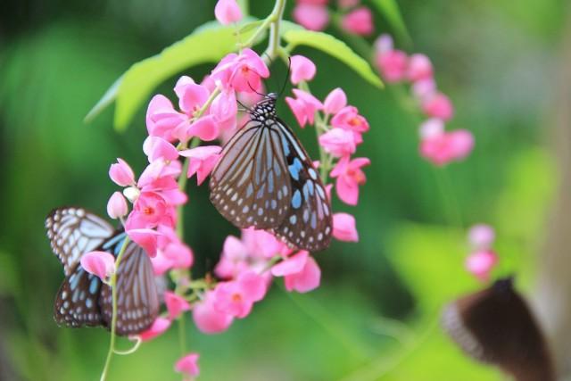 butterfly garden samui, thailand