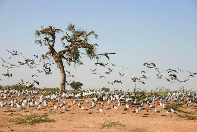 bird sanctuary, khichan, jodhpur