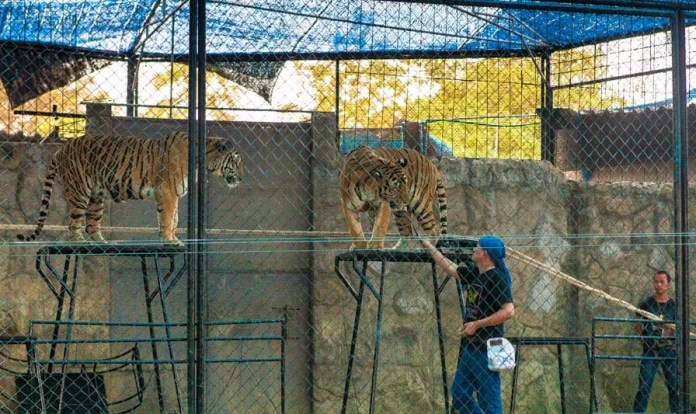 park, samui, wildlife, thailand, tigers