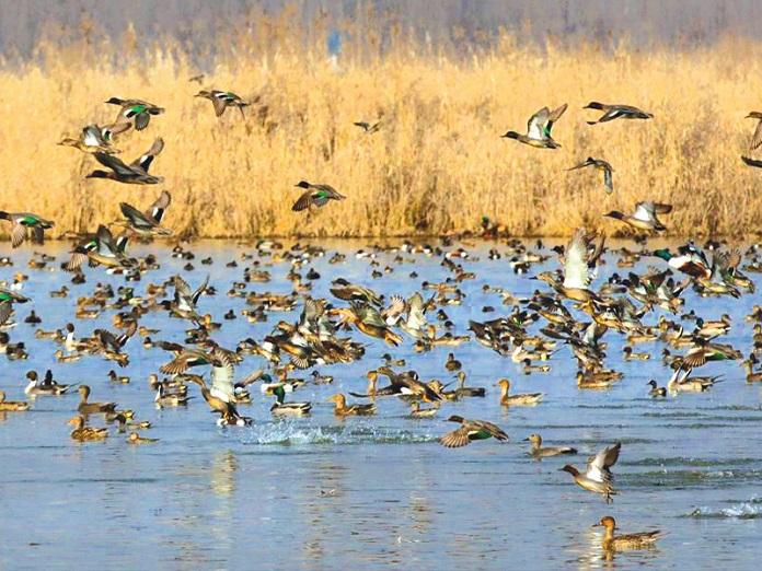 hokersar wetland, srinagar, india