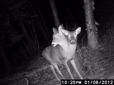 2head deer