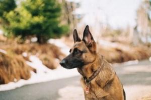 K9 Training Best Dog Breeds For Police K9 Training