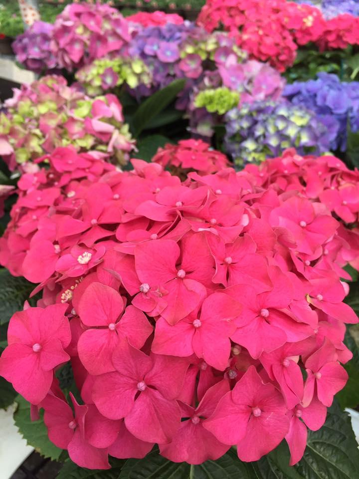 assorted hydrangea Easter Flowers