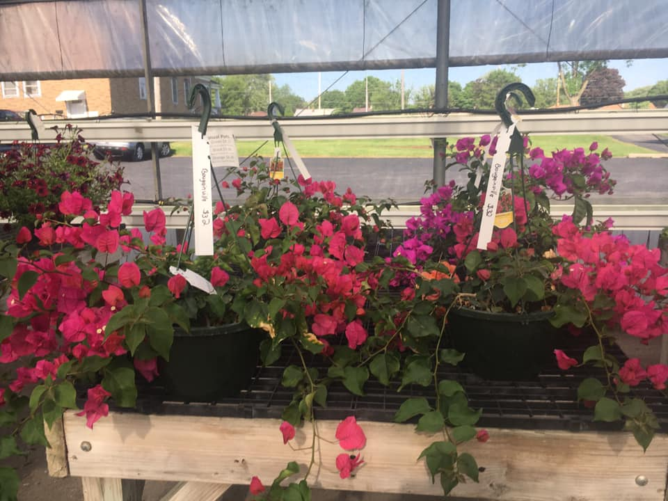 Hanging Baskets Custom Grown Greenhouse and Garden Center bougainvillea hanging flowers