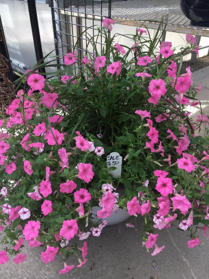 Petunia Combination Container