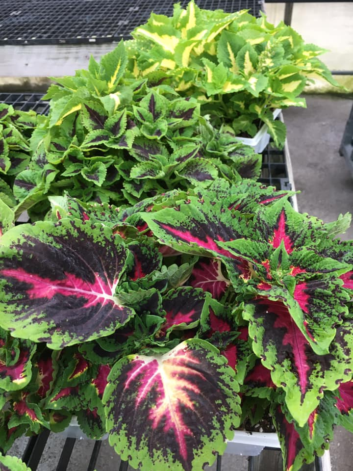 Custom Grown Greenhouse and Garden Center Coleus