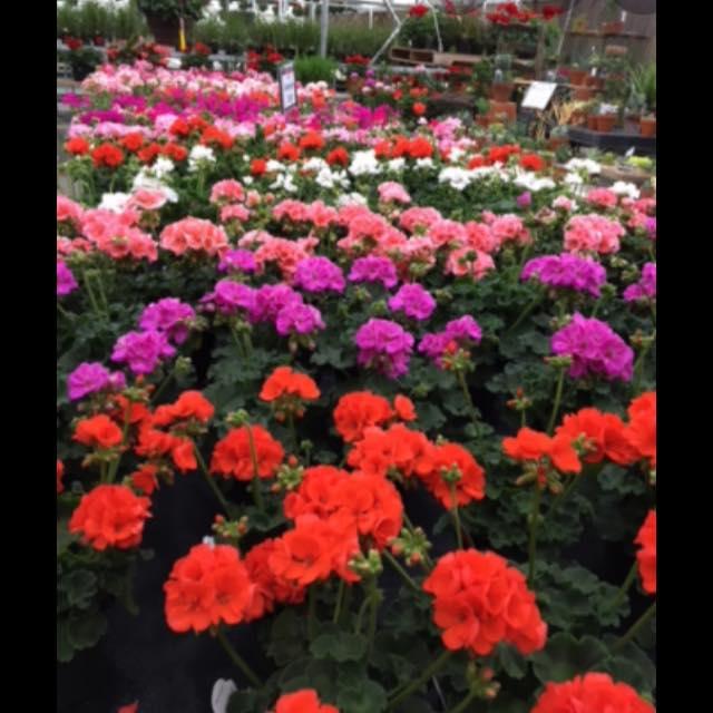 Garden Center in Milwaukee, Custom Grown Greenhouses, geranium plants