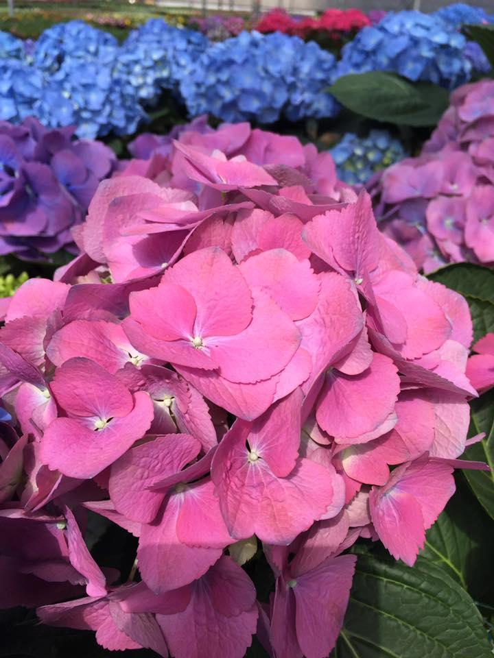 Hydrangea Easter Flowers