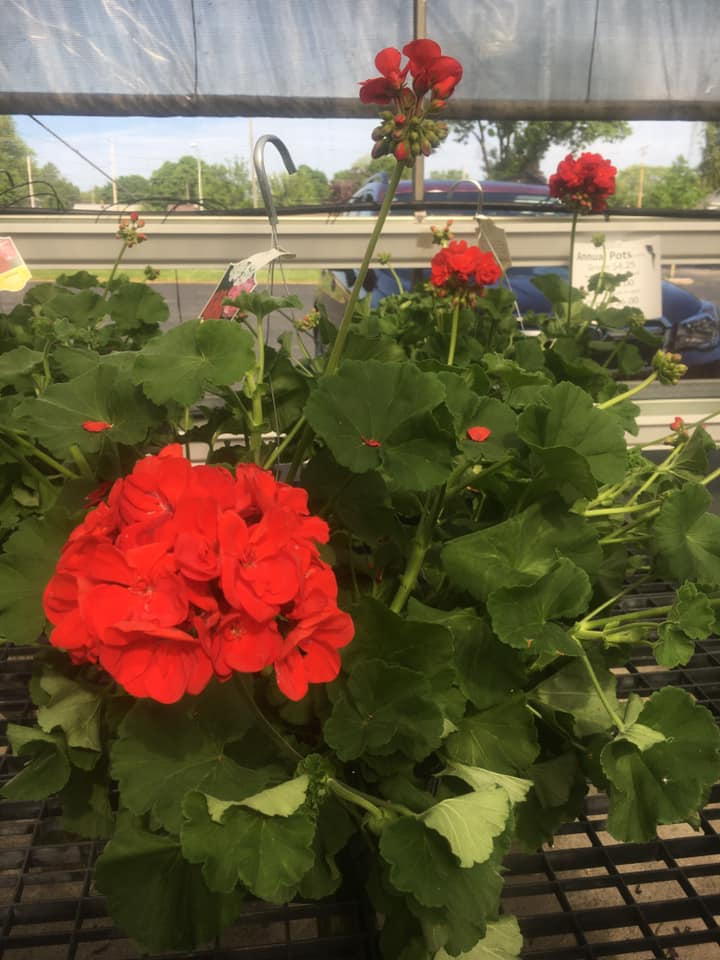 Begonias at Custom Grown Greenhouse and Garden Center