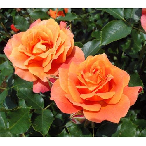 sakura02 min - お花見も楽しめる春の東京ディズニーリゾート〜桜は咲いてる?