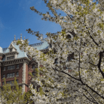 sakura06 min 1 - お花見も楽しめる春の東京ディズニーリゾート〜桜は咲いてる?