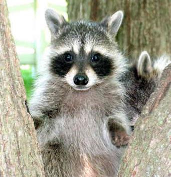 Cute Baby Polar Bear Wallpaper Top 10 Cutest Raccoon Pics Plus A Video Cute N Tiny