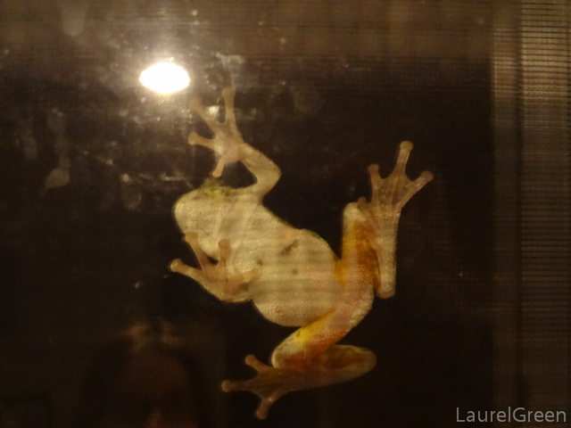 a photograph of a frog climbing a window from inside the house